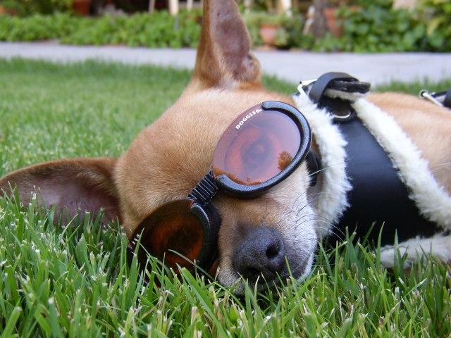 cani senza vista miopia