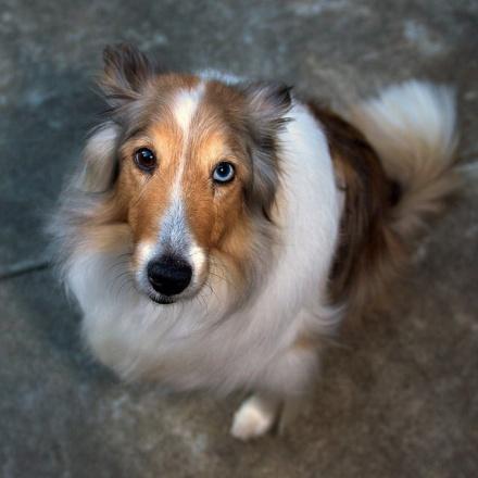 cani senza vista eterocromia