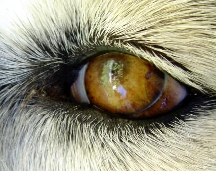 cani senza vista collirio cane