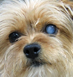 If A Dog Has One Blue Eye Is It Blind