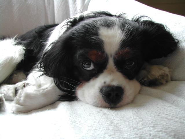cani senza vista chirurgia
