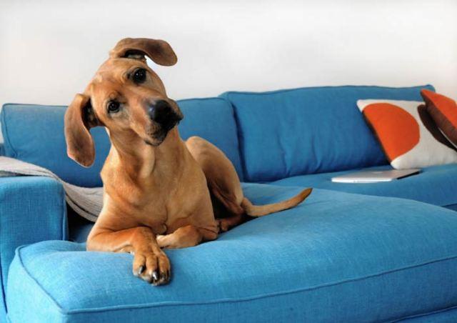cani senza vista capobranco